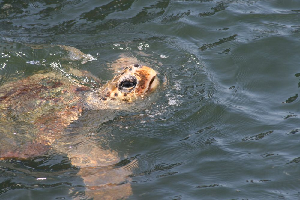 Dalyan Turtles